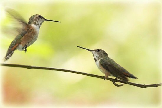 Bella Coola Valley: Hummingbirds (Kolibris)