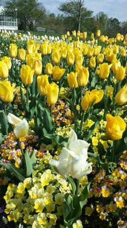 Lewis Ginter Botanical Garden : Daffodils
