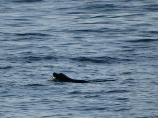 Balboa Inn: Loch Ness Monster...or a sea lion off the pier