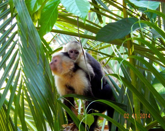 Tulemar Bungalows & Villas : Capuchin with baby
