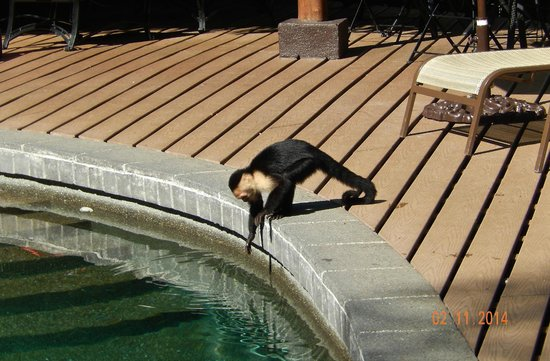Tulemar Bungalows & Villas : Capuchin at the lower pool