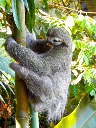 Tulemar Bungalows & Villas : Sloth near our deck