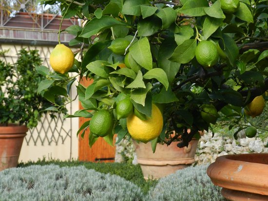 Villa Scacciapensieri: Fresh Lemons at the garden