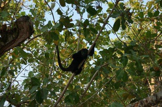 Nature Resort: Howler monkey