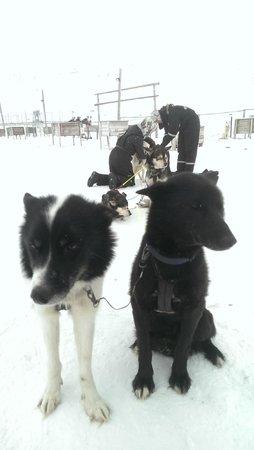 Svalbard Husky: The dogs