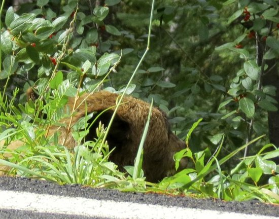 Baker Creek Mountain Resort : grizzly eating berries along road to Edith Cavell