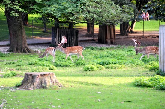 Deer grazing in the Hirschgarten