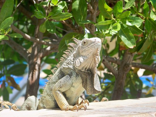 Divi Aruba Phoenix Beach Resort: Friendly Iguanas