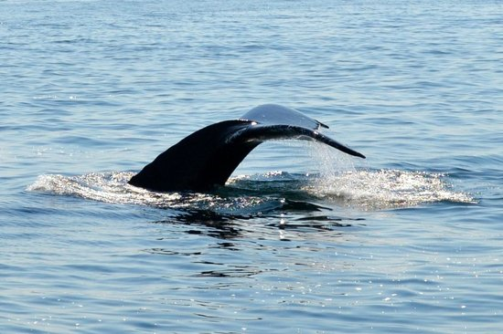 Hyannis Whale Watcher Cruises : whale about to do the tail flip