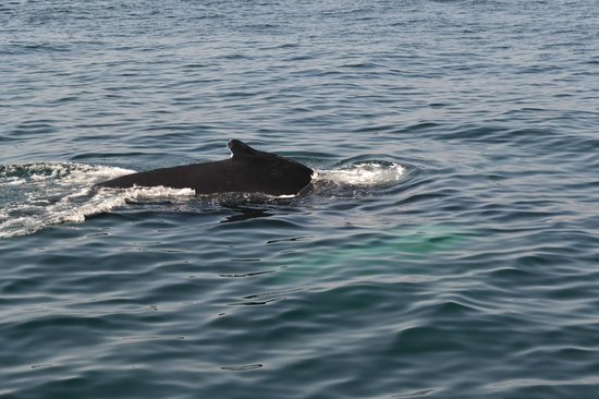 Hyannis Whale Watcher Cruises : whale gently swooping through the water near the surface