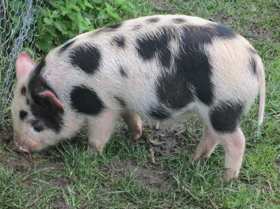 The Grainary: micro pigs