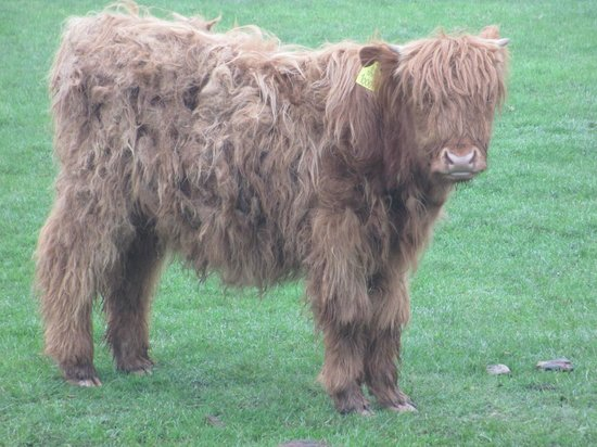 The Grainary: highland cow