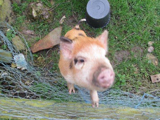 The Grainary: micro pigs