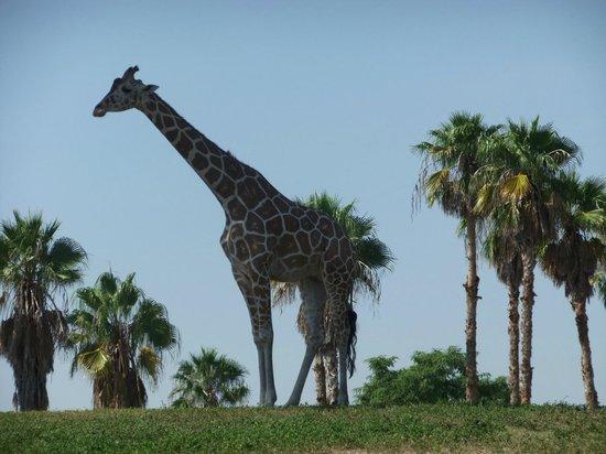 Busch Gardens : Giraffe