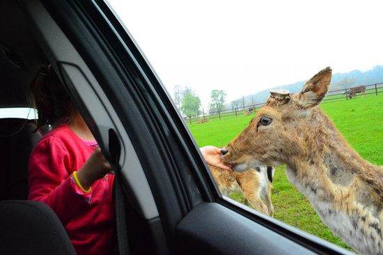 Longleat: feeding the deers