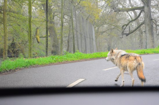 Longleat: wolf