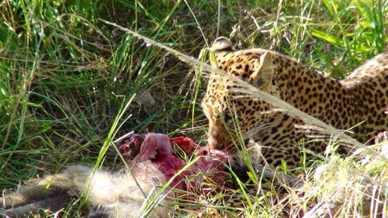 Sanctuary Puku Ridge Camp: Leopard eating baboon.