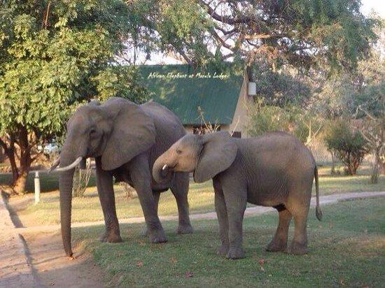 Marula Lodge : Elephants at marula