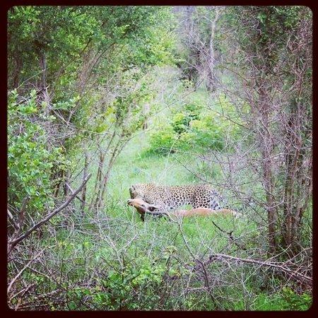 Jock Safari Lodge : leopard that killed an impala infront of us.