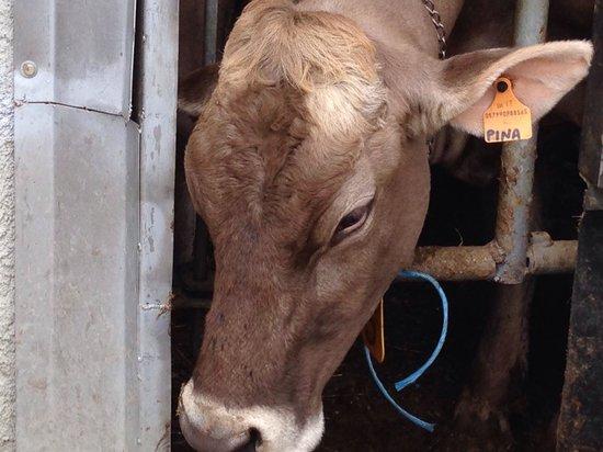 Agriturismo Rini : La mucca Pina