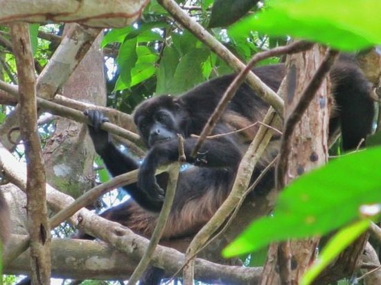Hotel Boca Brava : Howler monkey...loves being the star!