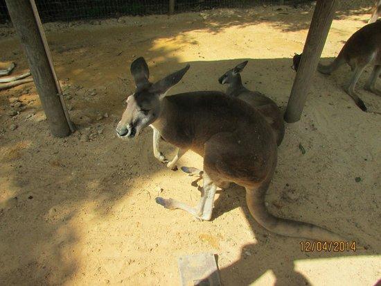 Busch Gardens : Primera vez frente a un canguro