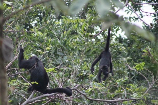 La Lancha Lodge: Our early morning wake up call from the howler monkeys