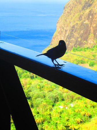 Ladera Resort: one of the many birds that visit you for breakfast