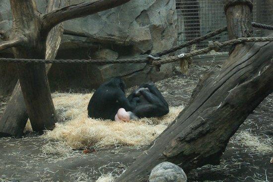 Zoologischer Garten Frankfurt/Main: Gorillas