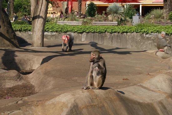 Zoologischer Garten Frankfurt/Main: Baboons
