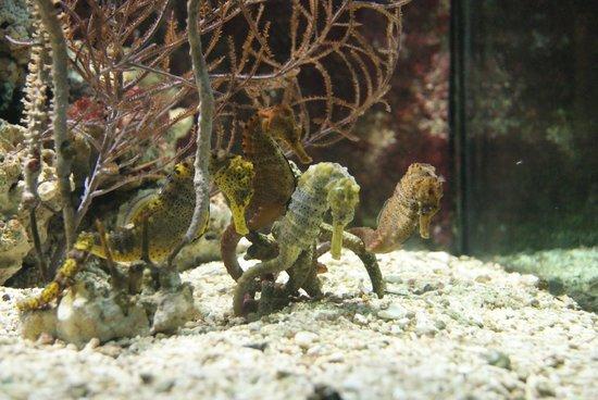 Zoologischer Garten Frankfurt/Main: Sea horses @ the aquarium