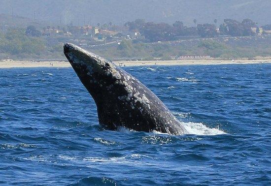 Laguna Cliffs Marriott Resort & Spa: Gray whale breaching near the Laguna Cliffs Marriott Resort
