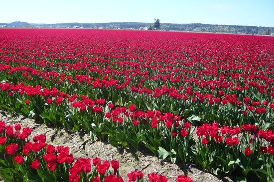 Skagit Motel : Tulip field near motel