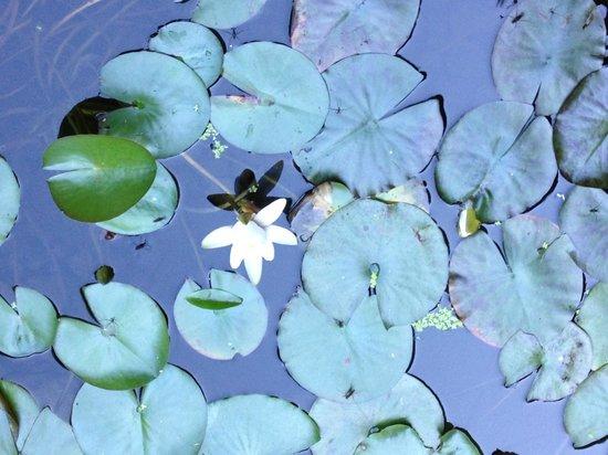 Portland Japanese Garden: Delicate water plants.