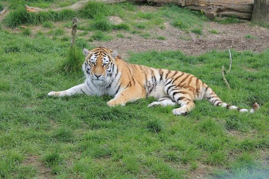 The Big Cat Sanctuary: One of the Foundation's Big Cats