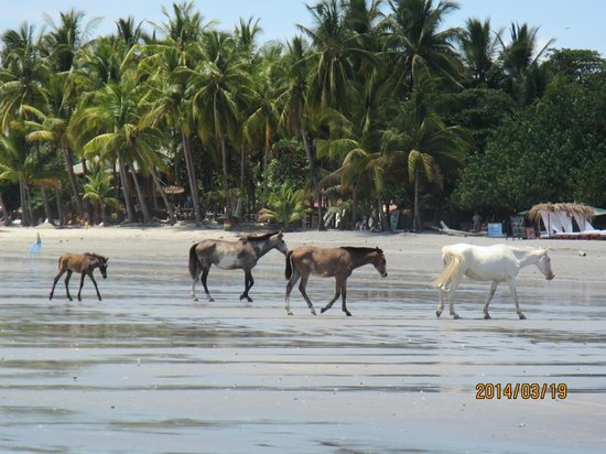 Hotel Villas Playa Samara: Horses wandering freely on Samara Beach