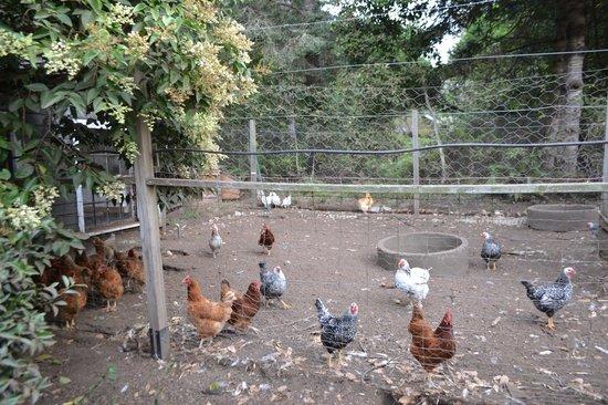 Glendeven Inn Mendocino: loved feeding them