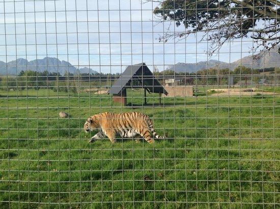 Vredenheim: Tiger tiger