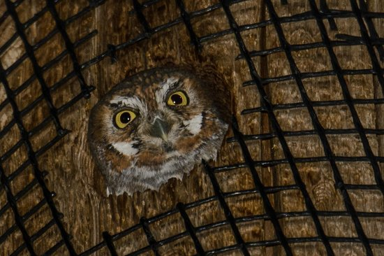 Battiste's Bed, Breakfast & Birds: Elf Owl