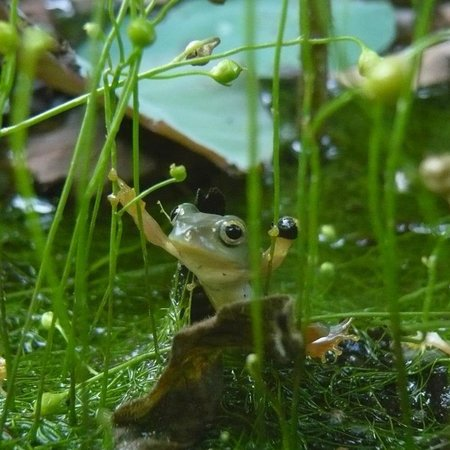 Frog Grandma's Home: ㄚ婆家的莫氏樹蛙
