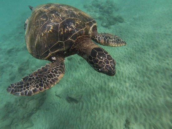 Hawaiian Paddle Sports : Turtle at Makena Landing