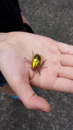 Arenal Observatory Lodge & Spa : Gold beetle found at lodge