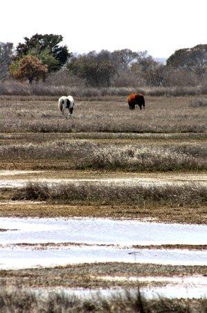 Assateague Island National Seashore : Ponies grazing in the marsh