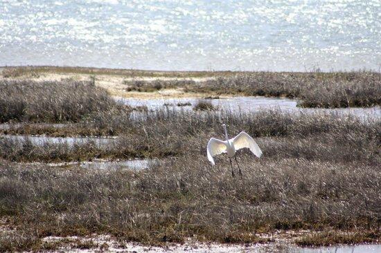 Assateague Island National Seashore : Egret in flight