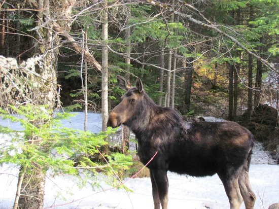 Lopstick : Good looking Moose