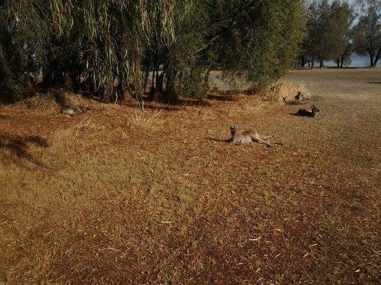 Heirisson Island : Kangeroo