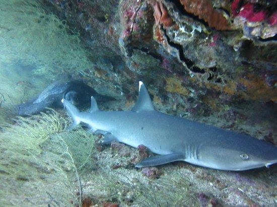 Scuba Iguana : Tiburón punta blanca
