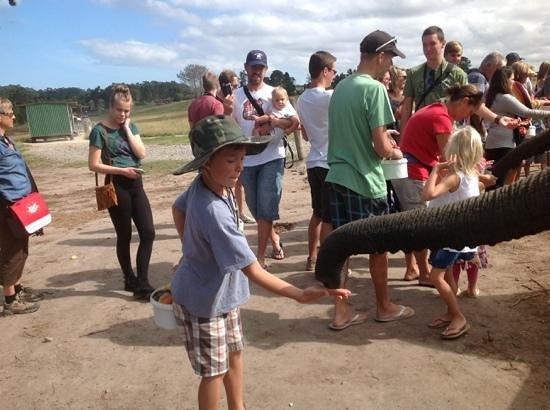 Knysna Elephant Park: this feeding is serious business.