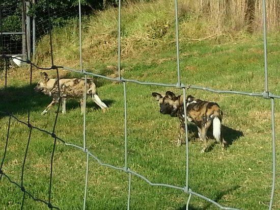 Lionsrock Lodge : Wild Dogs at LionsRock