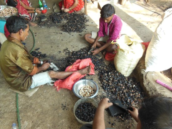 Sai Farm: The hotel staff busy in getting the cashew nuts from the fruit